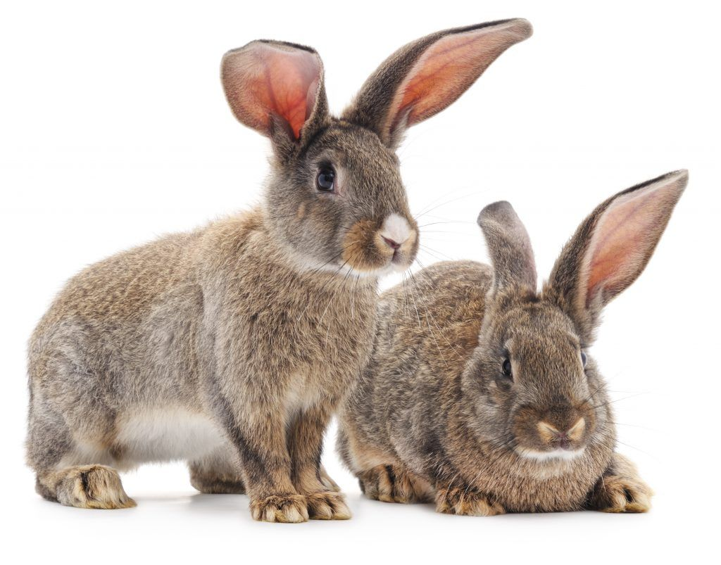 Ушные болезни кроликов