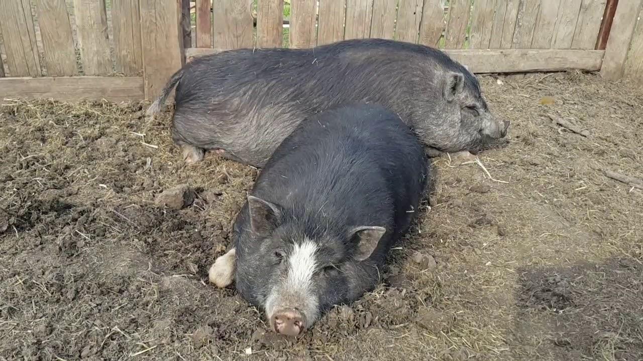 вислобрюхие свиньи свинарник