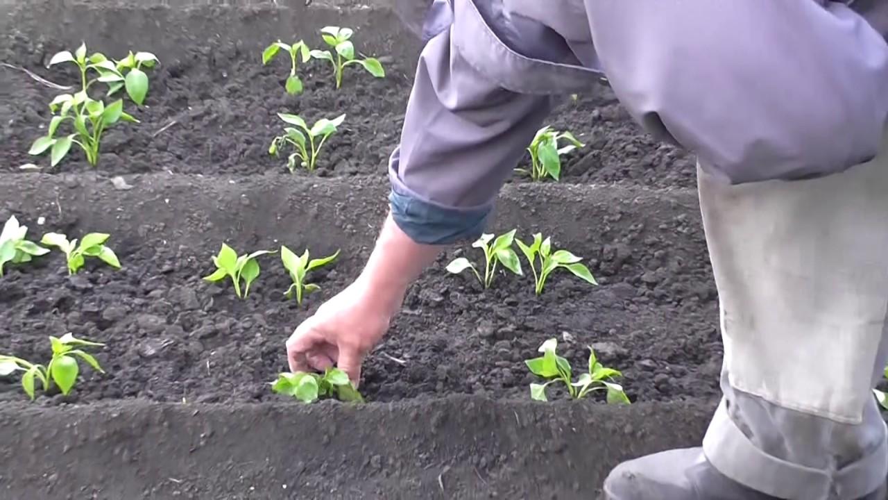 Лучший грунт для рассады перца, приготовленный на основе всех рекомендаций, обеспечит растениям здоровье и силу, а огородникам – хороший урожай