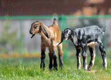 Англо-нубийские козы - правила разведения и содержания