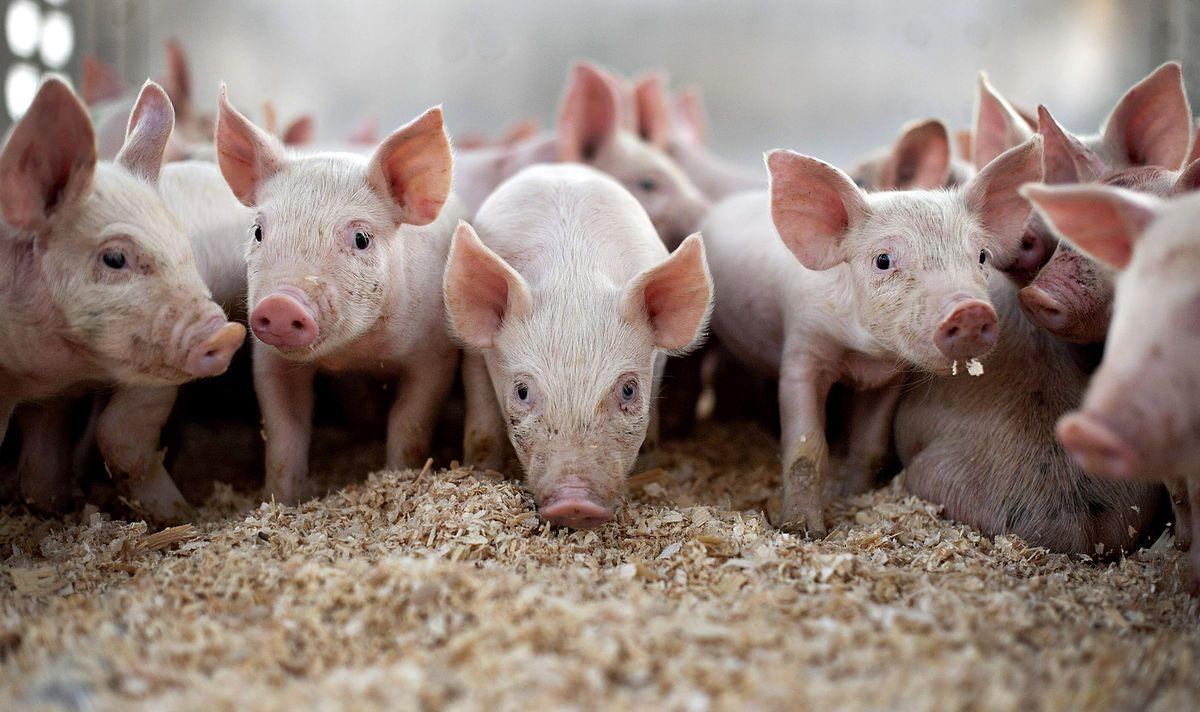 Заболевания свиней